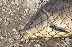 Carp inside the net Royalty Free Stock Photography