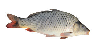 Carp isolated Royalty Free Stock Image