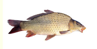Carp isolated Stock Photography