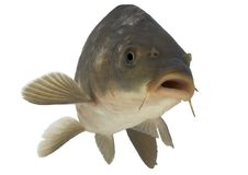 Carp - isolated. Live fish photo in aquarium Royalty Free Stock Photography