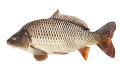 Carp isolated on white background Royalty Free Stock Image