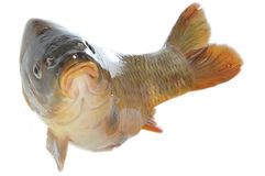 Carp in jump Stock Photography