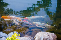 Carp koi fish under the water Royalty Free Stock Images