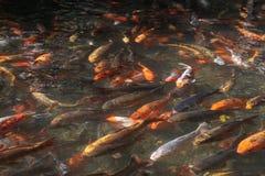 Carp koi. The carp koi more specifically nishikigoi pron. Niscichigoi, literally `brocade carp` or Japanese carp, is the domesticated carnation ornamental Stock Images