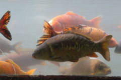 Carp koi Stock Photography