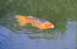 Carp in lake Royalty Free Stock Image