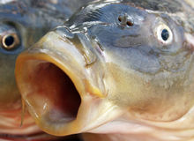 Carp mouth Stock Image