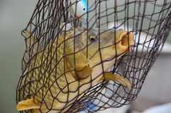 Carp in a net Stock Photography