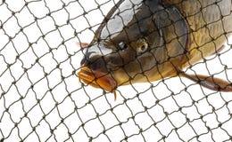 Carp fish in a net close up in detail. Carp in a net close up in detail Royalty Free Stock Image