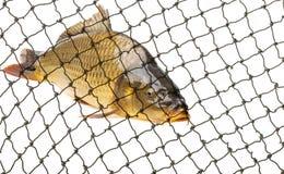 Carp fish in a net close up in detail. Carp in a net close up in detail Stock Images