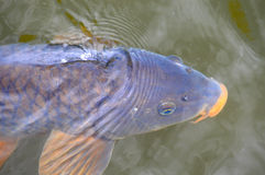 Carp With Orange Mouth & Fins Swimming Under Water Stock Images