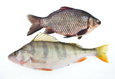 Carp and perch. On white background stock photos