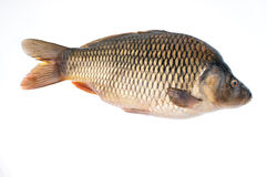Carp- photography Stock Photo
