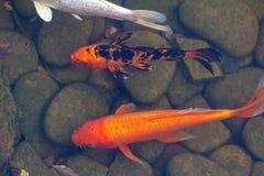 Carp in pond, colorful fish,  animal asia. Carp in pond, colorful fish, japanese nature,  animal asia stock photo