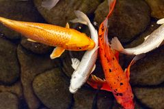 Carp in pond, colorful fish,  orange. Carp in pond, colorful fish, japanese nature  orange royalty free stock image