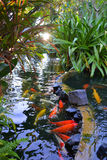 Carp in a pond nature Royalty Free Stock Photography