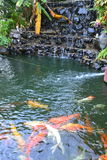 Carp in a pond nature Stock Photography