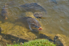 Carp in the pond Royalty Free Stock Photo