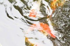 Carp in the pond Stock Photos
