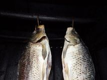 Carp ready for smokes. Christmas fish preparing for smokes, Carp ready for smokes Royalty Free Stock Image
