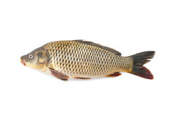 Carp River live fish Stock Image