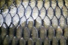 Carp's detail - scales. Caudal fin of big carp isolated on white Stock Photography