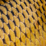 Carp scales. In a detail of texture Royalty Free Stock Photography
