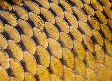 Carp scales. Texture close up Royalty Free Stock Photo