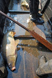 The carp of seven kilograms, river networks Royalty Free Stock Images