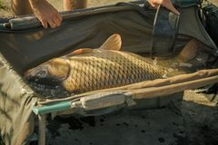 Carp with shining scales on sunny day, fishing stock photography