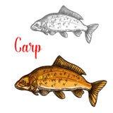 Carp sketch of freshwater fish for fishing design. Carp freshwater fish isolated sketch. River or lake fresh mirror carp icon for fishing sport club symbol, fish Stock Photos