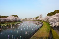 Carp streamer and Cherry tree Stock Images