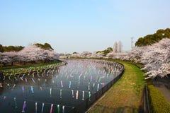 Carp streamer and Cherry tree. Japanese festival Stock Images