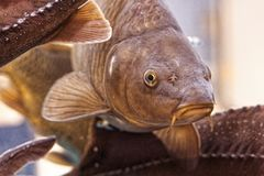 Meaningful old Testament carp royalty free stock photography