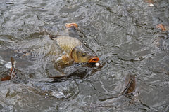 Carp on the surface Royalty Free Stock Photography