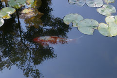 A carp swam calmly. The carp swam calmly in a pond Royalty Free Stock Photography