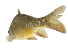 Carp swim away - isolated. Live fish - isolated photo in aquarium royalty free stock photos