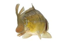 Carp swim away - isolated. Live fish photo in aquarium royalty free stock photo