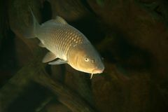 Carp swimming underwater Stock Photos