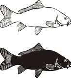 Carp, vector illustration Royalty Free Stock Image