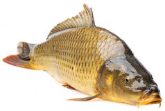 A carp Royalty Free Stock Images