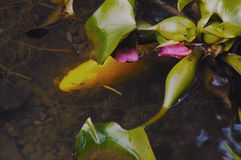 carpa Foto de archivo libre de regalías