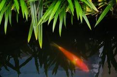Carpa in acqua Fotografia Stock