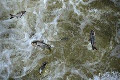Carpa asiatica in Tailwaters della diga di Bagnell fotografia stock