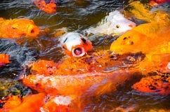 Carpa blanca con la boca abierta fuera del agua en un grupo de c colorida Fotos de archivo libres de regalías