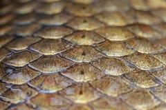 a carpa brilhante dos peixes do ouro das escalas vislumbra coberto no limo Imagem de Stock Royalty Free