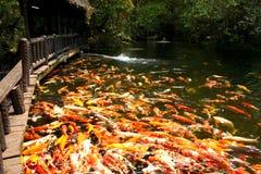 Peixes de Koi na lagoa no jardim imagens de stock royalty free