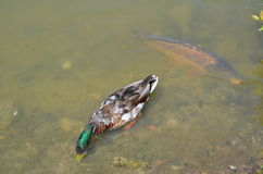 Carpa común y pato salvaje en una charca Fotografía de archivo libre de regalías