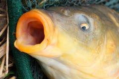 A carpa comum (Cyprinus carpio) Fotografia de Stock Royalty Free