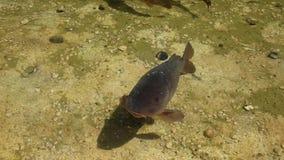 Carpa curiosa na lagoa